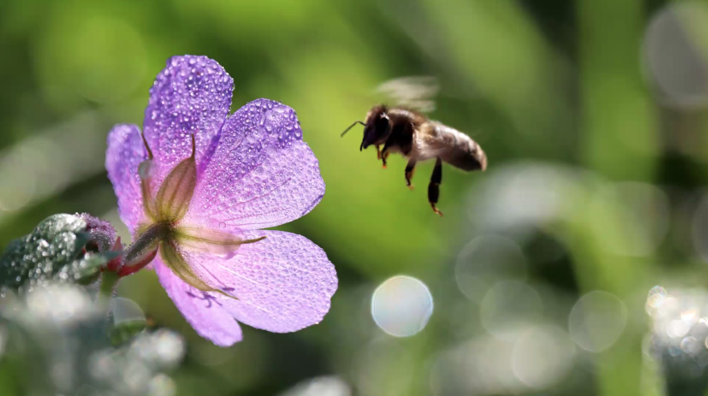 Hurst Garden Rethink - Close up of a bee on a flower